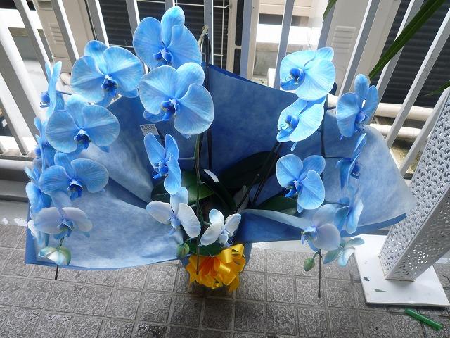 P1040470 青い胡蝶蘭.jpg
